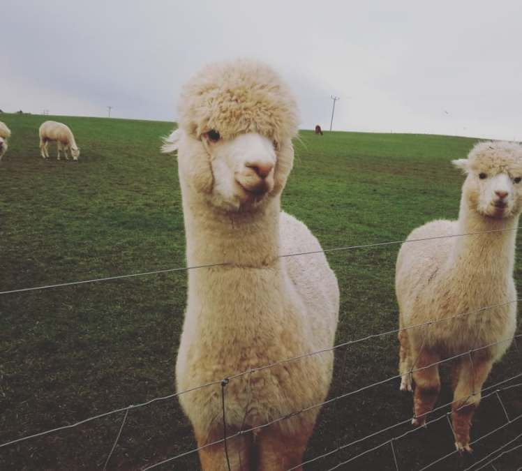Walking with Alpacas at Charnwood Alpacas with Study Work Travel Blog