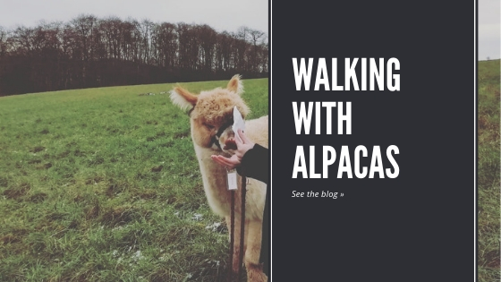 Why not try walking with alpacas